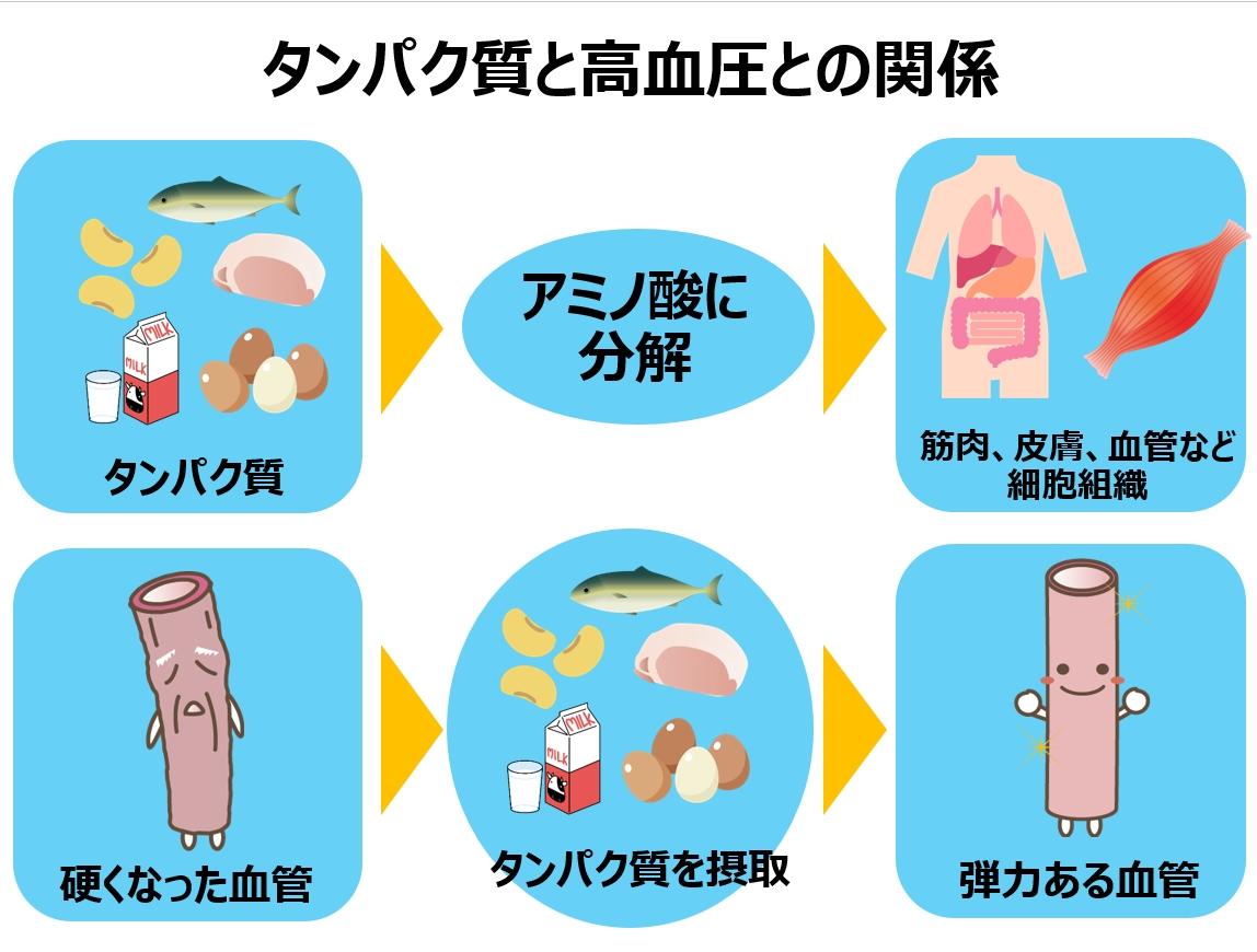 タンパク質と高血圧の関係
